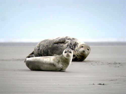The Seals of Authie Bay